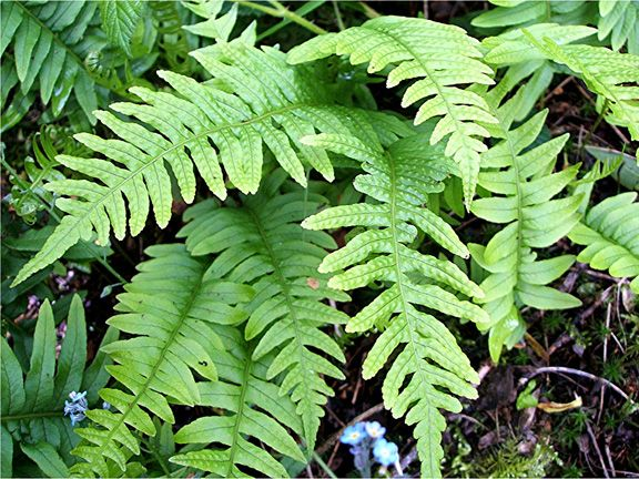 Common Garden Plants 51 best ferns species images on pinterest | ferns, beautiful and