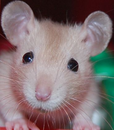 Cute baby rats - photo#27