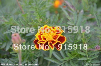 Flower seeds Tiger stripes Maidenhair seeds,Tenacious vitality,fresh,200 seeds~Free shipping