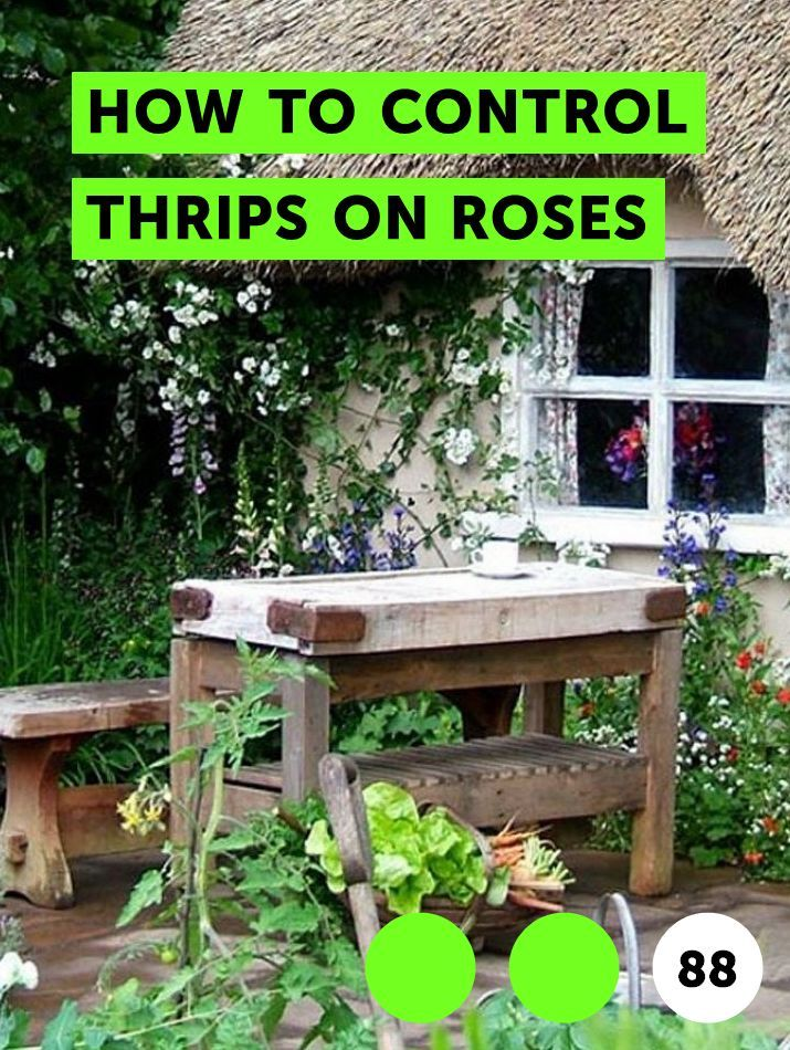 How to Control Thrips on Roses   Growing Roses   Plants