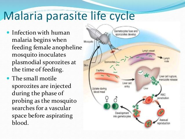Malaria Parasite Life Cycle in Kids | Mosquito Diseases