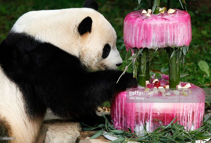 Giant panda Tai Shan checks out his birthday cake at the National Zoo July 9, 2009 in Washington, DC. The zoo held an event to celebrate the panda�s fourth birthday with a frozen cake made from water, bamboo, shredded beets and beet juice.