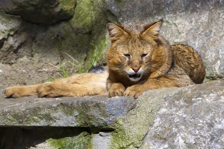 The jungle cat is also known as the swamp cat and the jungle lynx, but it is not related to the lynx family. The jungle cat is not endangered.  Its range extends throughout Asia and India all the way to Egypt, though its population is declining in the latter country and in southern Asia.
