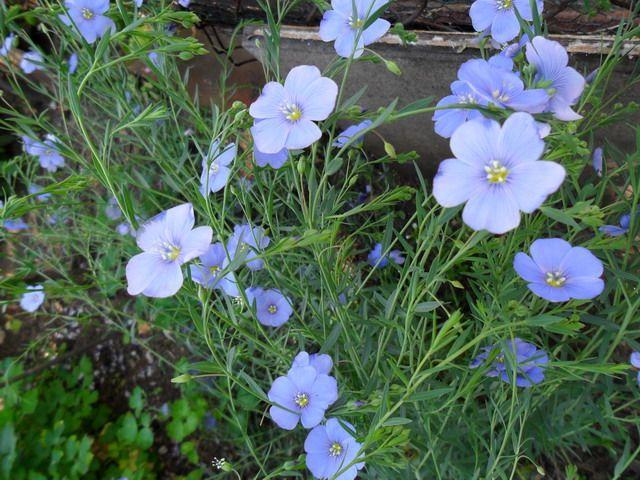 BODZISZEK geranium OKRES KWITNIENIA: od czerwca do września lub października.  SIEDLISKA: łąki, zarośla, przydroża, rowy, skraje lasów