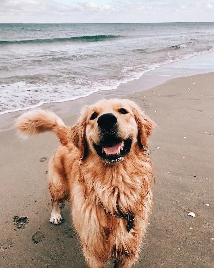 Niedlicher Golden Retriever Welpe Cutedogsofinstagram Cutepuppies Puppydog Puppyl Hunderassen Hunde Rassen Hunde