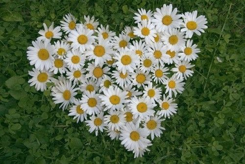 a heart of daisies