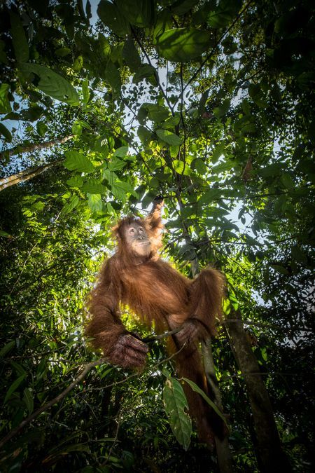 Hanging Around Photo by Ian Plant — Sumatran orangutan hanging from a tree in Gunung Leuser National Park, Indonesia. Critically endangered and threatened by habitat loss due to logging and development, the population of Sumatran orangutans is estimated at just over 7000 in the wild.