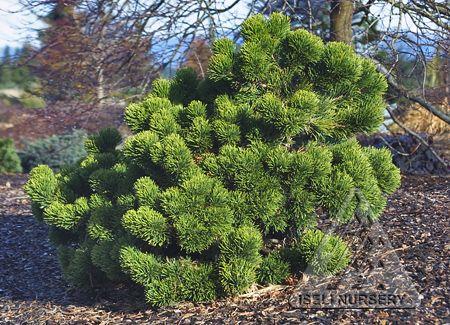 Pinus mugo 'Jakobsen' interesting enough evergreen