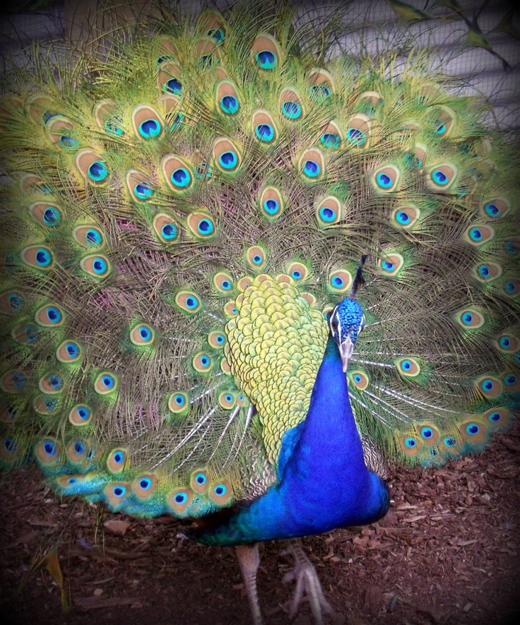 Peacock at the Bellingham Maze.  Stunning creature