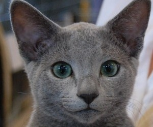 48 Best Beautiful Russian Blue Cats ️ Images On Pinterest