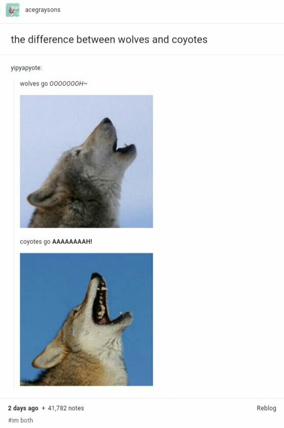 Not the only difference but funny all the same! Also coyotes often have a yip yip yip yodel trill pattern.