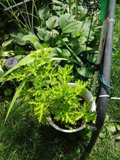 Citronella plant July26,2014