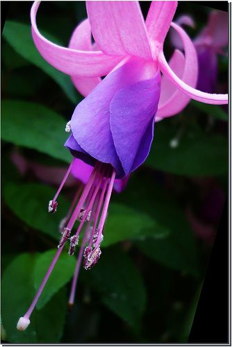 Fuchsia ver. 2, Fuchsie   love these colors to study : pink …   Flickr