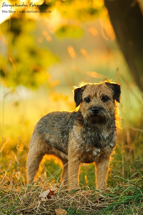 Border Terrier Awww really I will be good I will stay right with you yea that's my story and I am sticking to it!