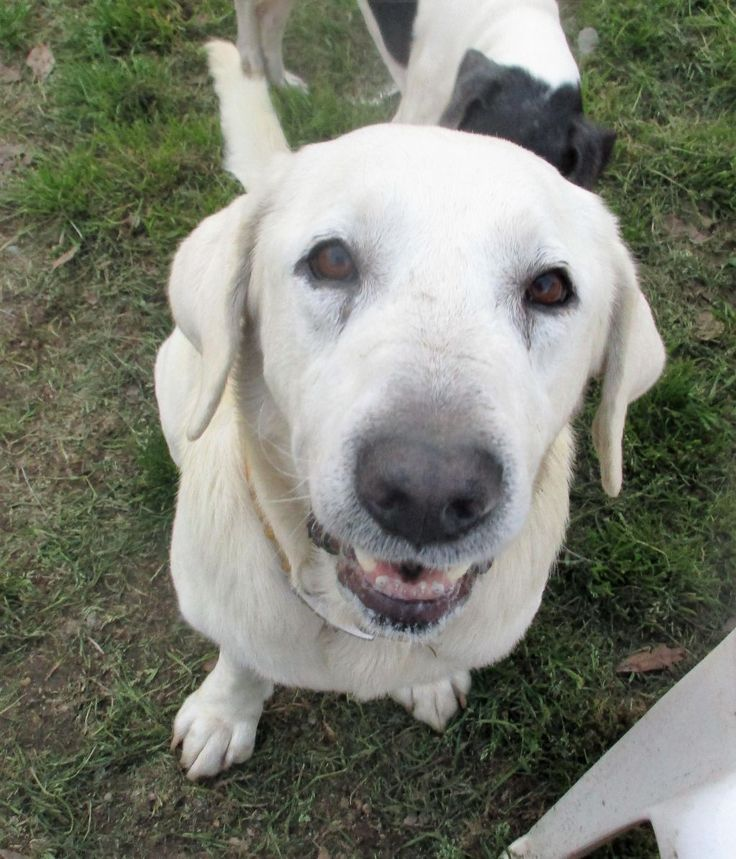 Adopt Fostered in NJ on foster, Labrador