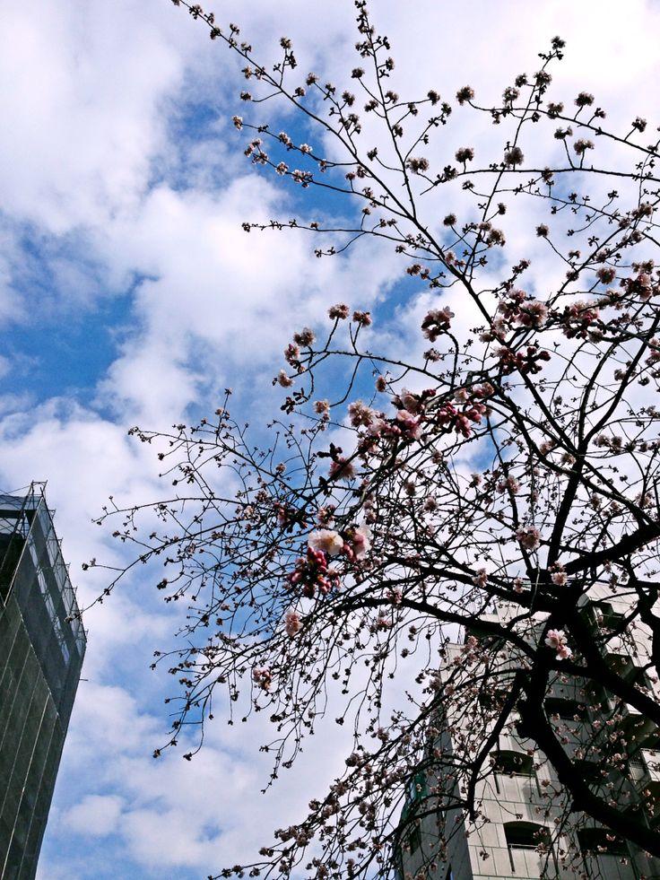 学校の桜もう咲いた学校を離れたくない