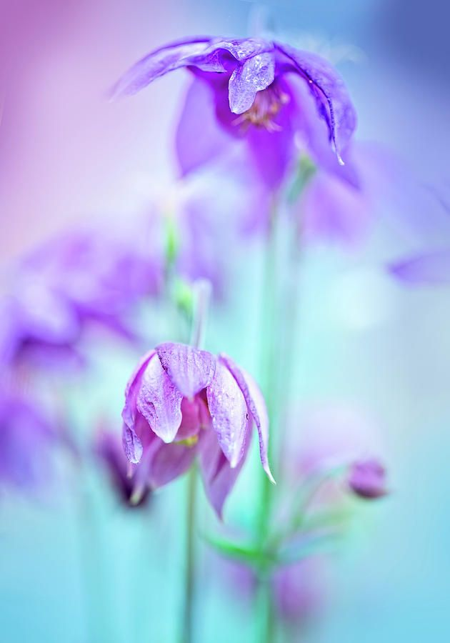 Oksana Ariskina Photograph - Tender Spring Flowers by Oksana Ariskina  #OksanaAriskinaFineArtPhotography #Spring #Flower #ArtForHome #Blue #Violet #FineArtPrints #InteriorDesign #PrintsForSale #Garden
