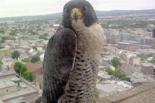 Des faucons pèlerins en ville