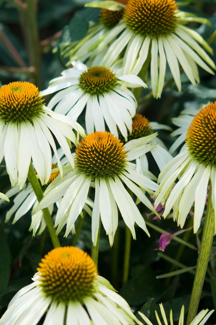 Echinacea works with most syles and is long flowering! Bingo! #daisy #echincea #white #simple #flower #garden