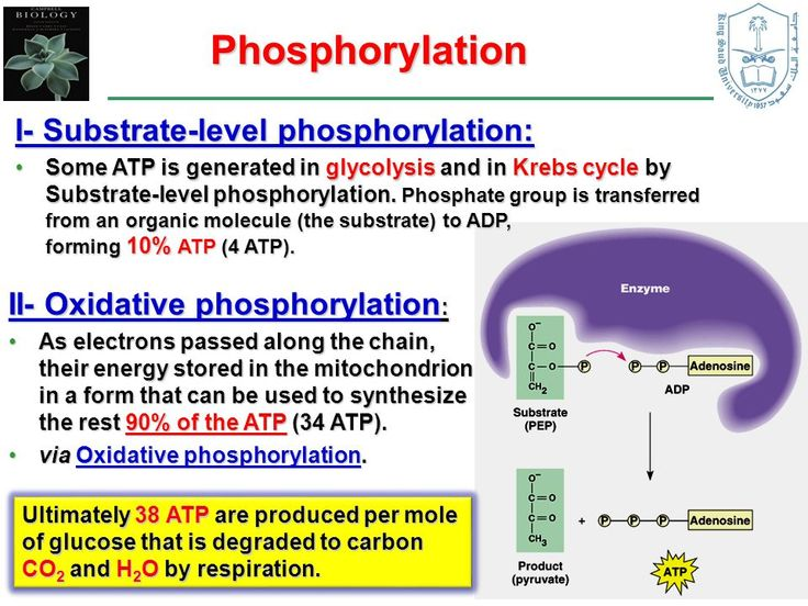 atp synthesis in glycolysis substrate level phosphorylation This direct synthesis of atp is called substrate level phosphorylation in total, 4 molecules of atp are generated during glycolysis by substrate level phosphorylation (2 atp per 3c sugar) at the end of glycolysis, the following reactions have occurred.