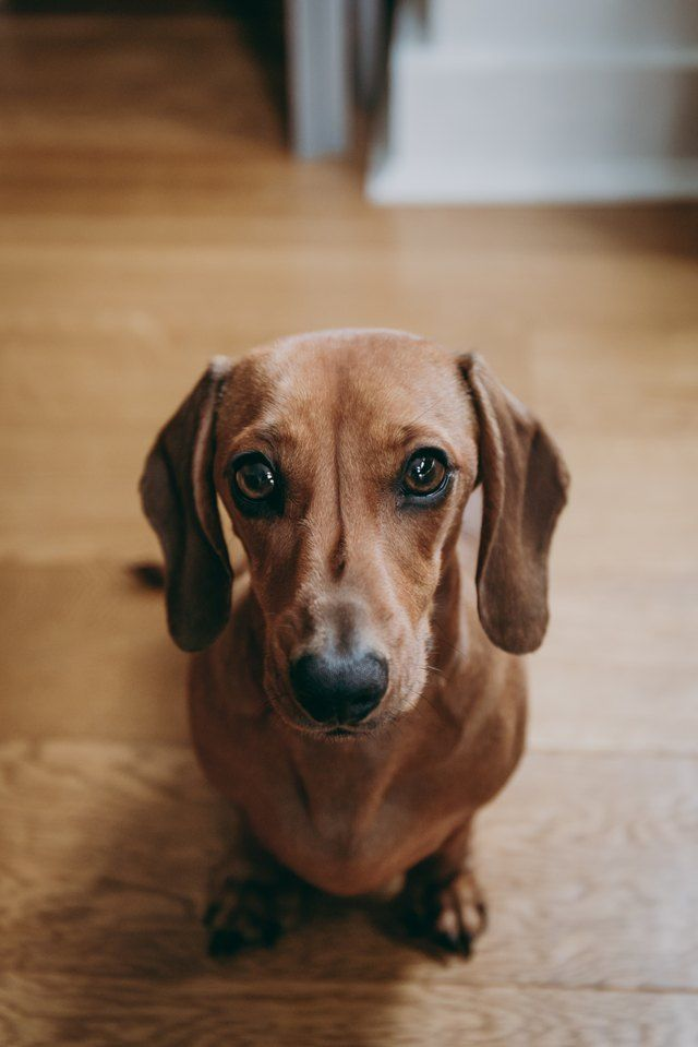 Pin By Carrie Victoria Harris On Cuties In 2020 Dachshund Breed