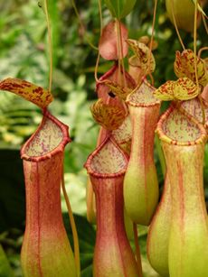 I purchased one of these to help with the ant problem in my indoor growing space.  Now, ants are few; they are in the pretty pitchers.  Bravo!Carnivorous Pitcher, Pitcher Plants, Plants Eating, Indoor Plants Pretty, Ants Problems, Fly Eating Plants, Insectivorous Plants, Indoor Flower Plants, Carnivorous Plants