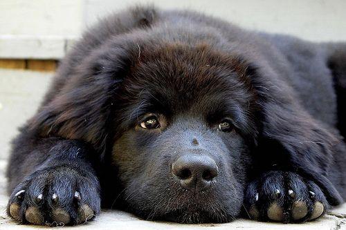 I love New Foundland Puppies..