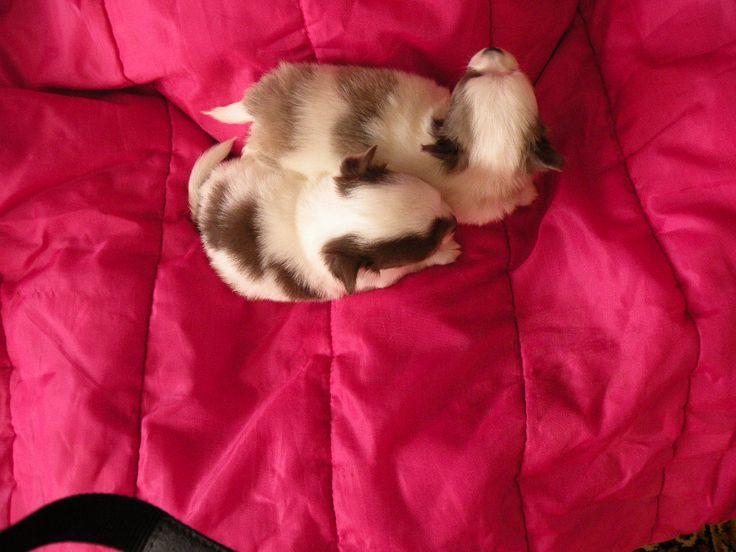 Hanka 4 týždňový psi