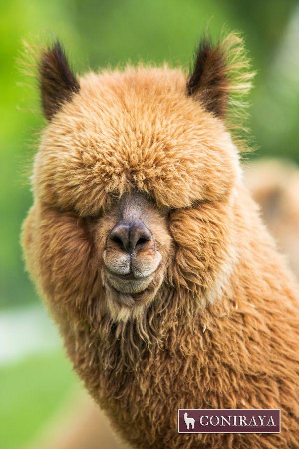 Hello there! Some said spring is coming! :D #alpaca #coniraya #alpakino alpacas #spring