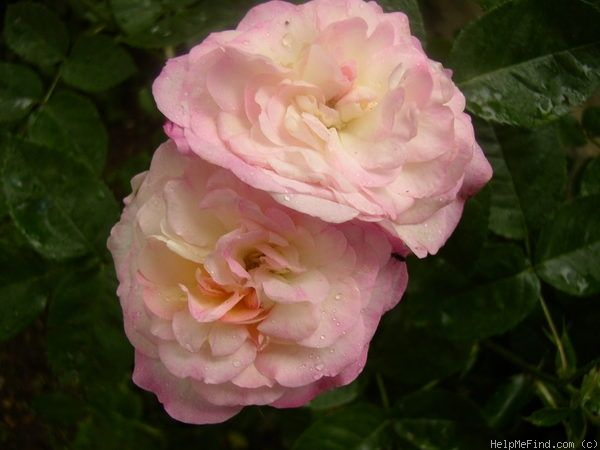 'Morning Blush ' Rose Photo