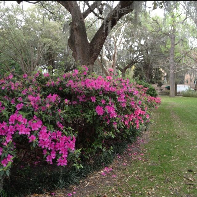 Forsyth Park Azaleas In Savannah GA