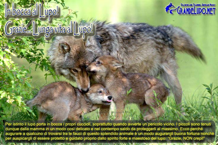 in bocca al lupo significa immagini - Cerca con Google