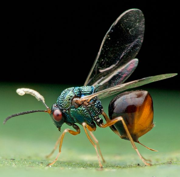 Eucharitid wasps are parasitic of many different species of ants. Eucharitid larvae will attach themselves to foraging ants, who unknowingly bring them back to the colony. Once there, the wasp larvae feed on ant larvae until they develop into adult wasps. Image credit: Melvyn Yeo