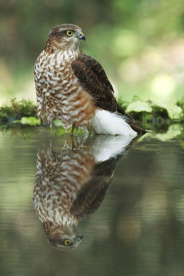 beautiful-wildlife: Sparrowhawk by Julian Rad on Fivehundredpx
