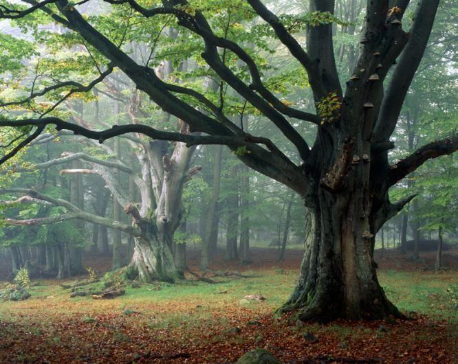 Beech Tree - Skane, Sweden