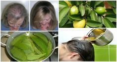 Save Print DESCUBRA TODOS OS PODERES DA FOLHA DE GOIABA! CONTRA QUEDA DE CABELO, FERIDAS, BRONQUITE, EMAGRECIMENTO, COLESTEROL... A goiabeira é uma árvore tropical muito comum na América do Sul e América Central. Seus fruto, além de muito saboroso, tem muitas utilidades medicinais. 3.5.3226  Suas folhas também são bastante utilizadas para tratamentos de saúde. Entre os principais benefícios da goiaba, tanto da fruta como da folha, podemos destacar: Queda de cabelo, feridas, bronquite…
