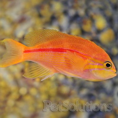 44 best saltwater fish images on pinterest aquariums for Red saltwater fish