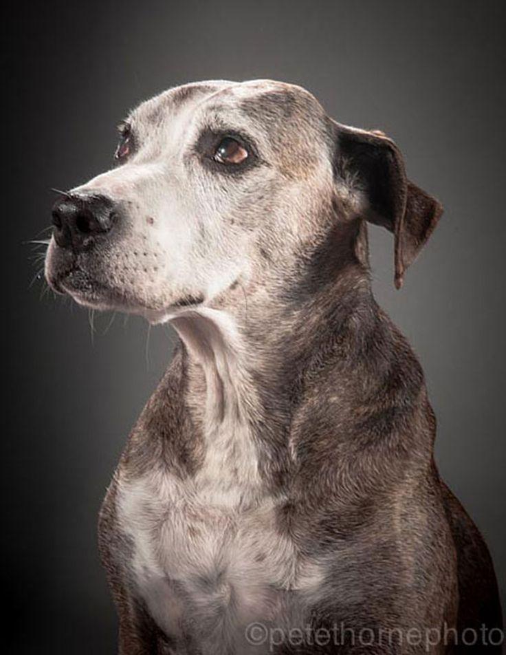 Bodley, 12 años  Old Faithful: Conmovedora Serie de Retratos de Perros en Avanzada Edad | FuriaMag | Arts Magazine