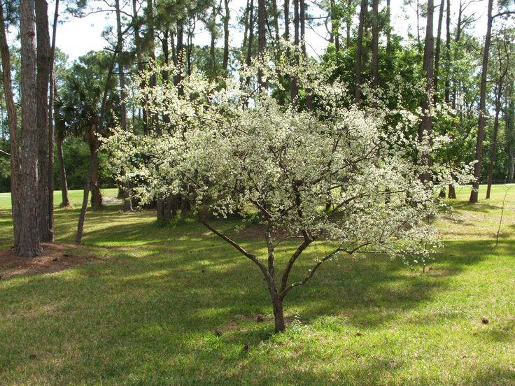 Chickasaw plum prunus angustifolia florida native shrub for Small flowering trees full sun