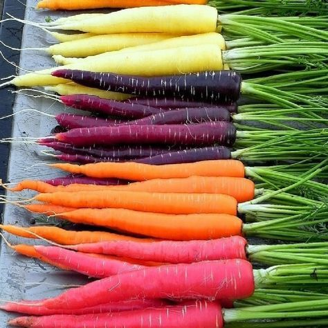 Grow Heirloom Carrots - Rainbow Blend Carrot Seeds:Grow a colorful and delicious vegetable garden! Our Rainbow Carrot Blend contains 4 different varieties of carrot seeds: Lunar White Carrots, Solar Yellow Carrots, Cosmic Purple Carrots & Atomic Red Carrots. With names and colors like that, your garden will be out of this world!