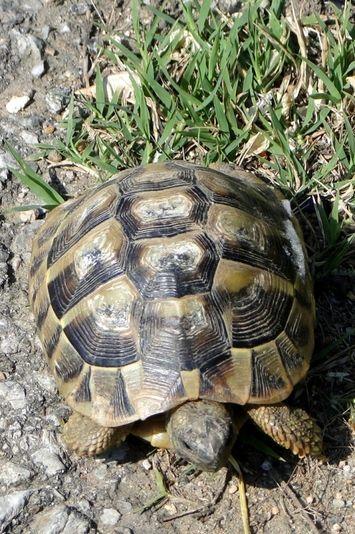 17 meilleures id es propos de tortue graeca sur