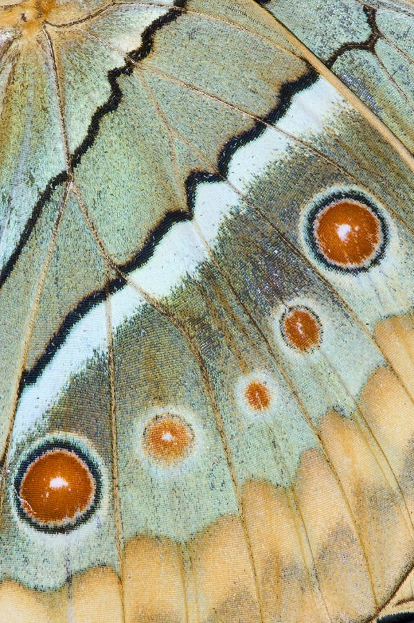 cool Butterfly wing close-up photograph by: Darrell Gulin...