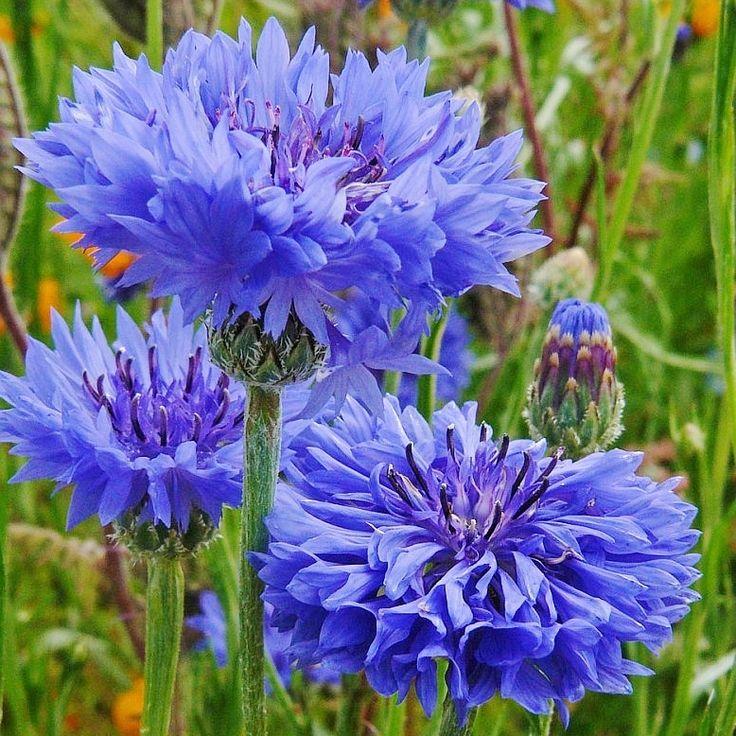 Cornflower bachelor button tall blue seeds in 2020
