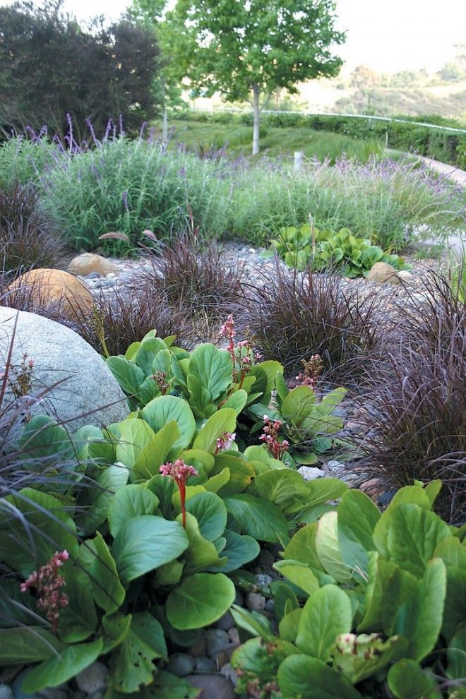 A water-conserving combination of red fountain grass (Pennisetum setaceum 'Rubrum'), Bergenia, Mexican bush sage (Salvia leucantha) plays off boulders and cobbles.