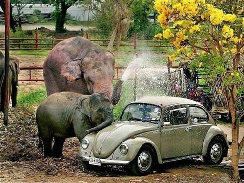 : Elephants, Vw Beetles, Vw Bugs, Funny, Cars Wash, Carwash, Classic Vw, Car Wash, Animal