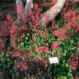 SF Plant Finder Heuchera 'Santa Ana Cardinal'