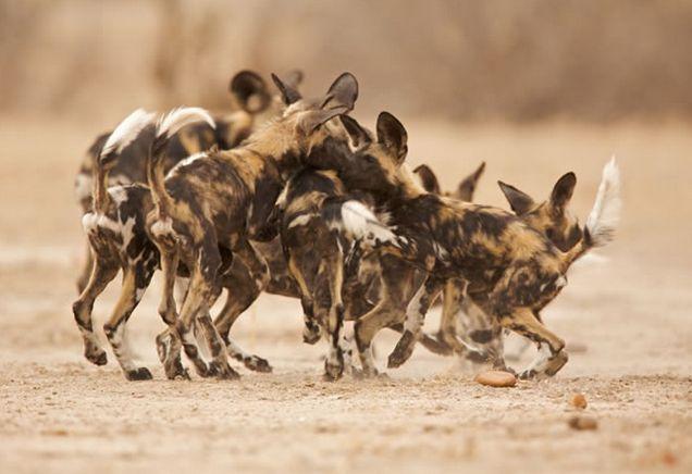 #goliathsafaris #manapools #zimbabwe #safari #africa #camp #tent #off2africa #holiday #wilddog #dog #dogpack #painteddog