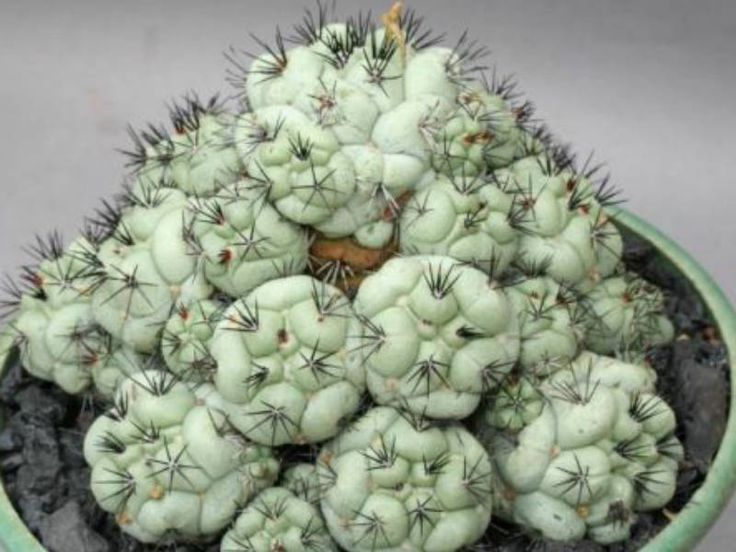 Ortegocactus macdougallii → Plant characteristics and more photos at: http://www.worldofsucculents.com/?p=4646
