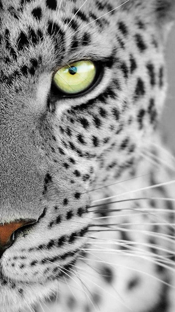 Leopard Eyes Iphone Wallpaper Leopard Wallpaper Leopard Eyes