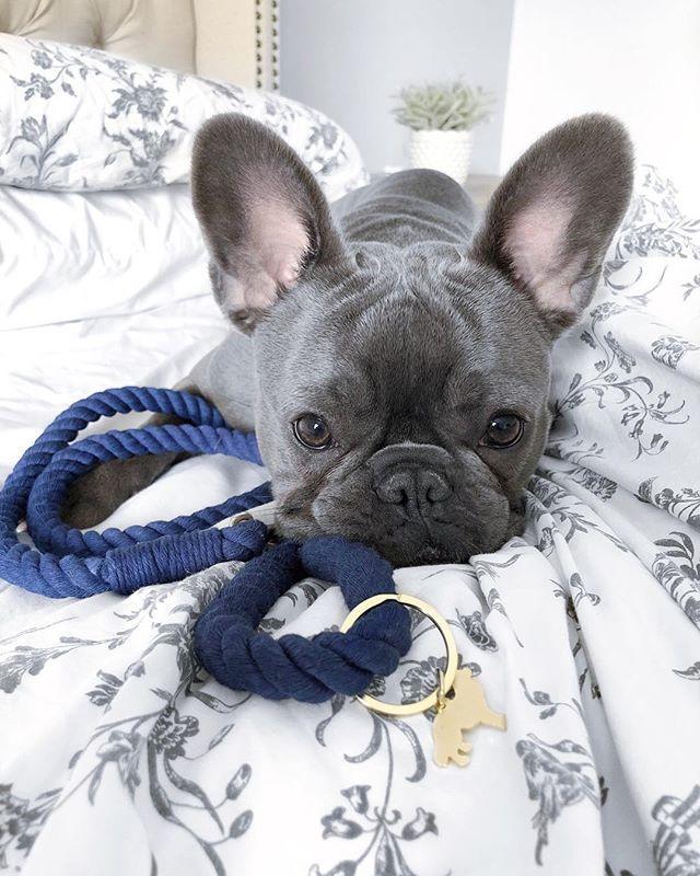 B E L L A Bellathebullie Instagram Photos And Videos Bulldog French Bulldog Puppies Bulldog Puppies